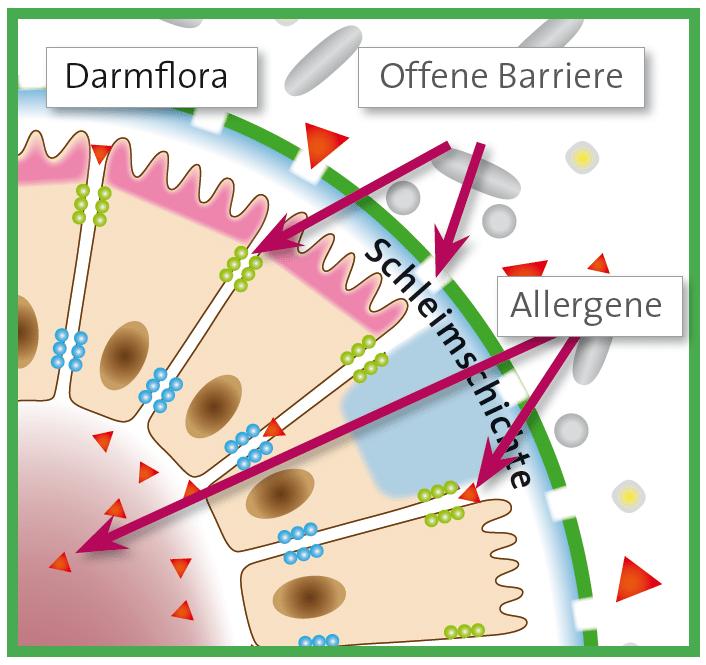Allergien können entstehen, wenn unsere Schleimhäute im Körper (Nase, Lunge, Darm) geschädigt sind.