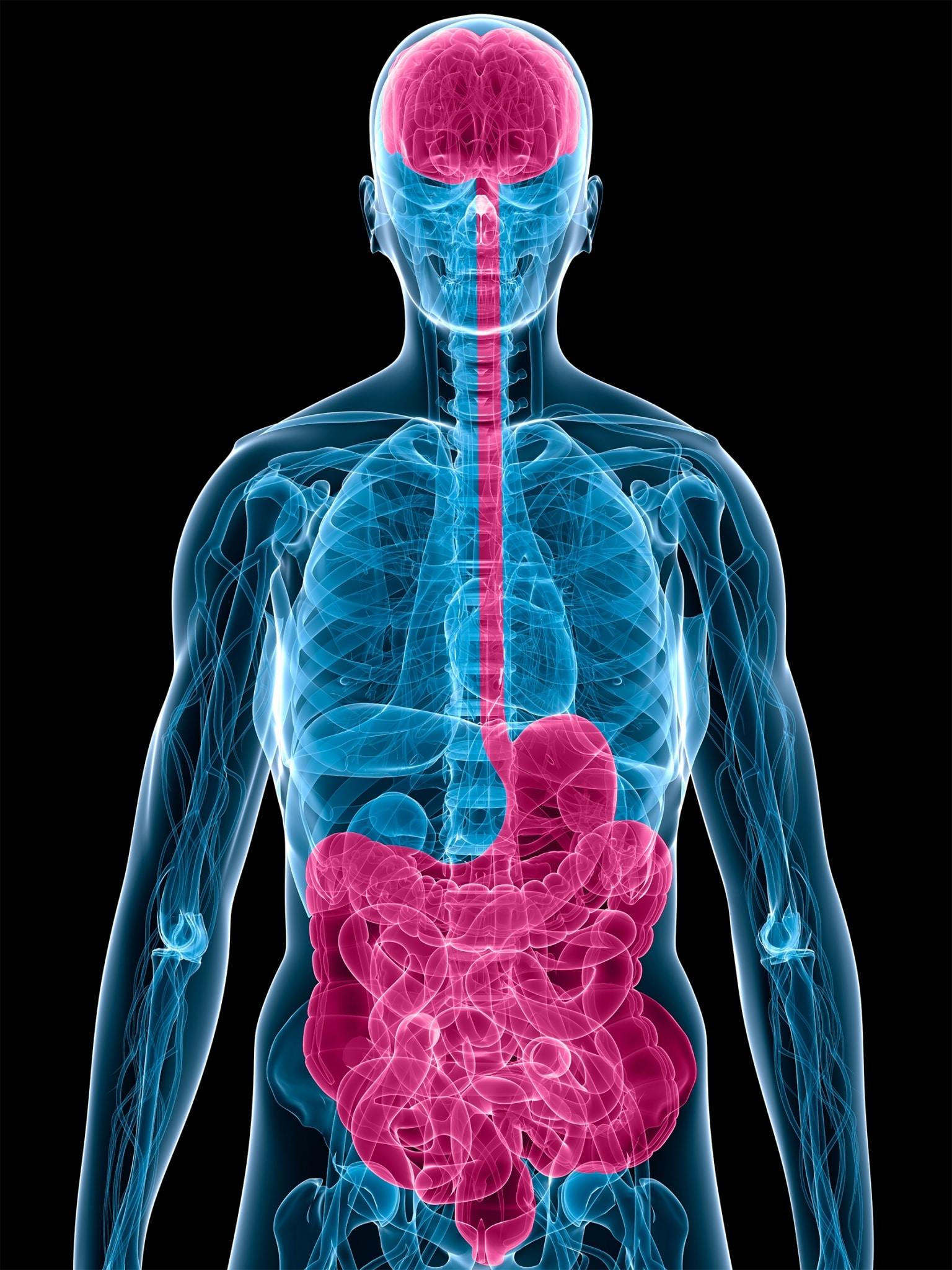 Unter der Bauch-Hirn-Achse, oder wissenschaftlich genauer Darm-Hirn- Achse, versteht man die enge Verbindung und den intensiven Informationsaustausch zwischen dem Darm und dem Gehirn, und zwar in beiden Richtungen.