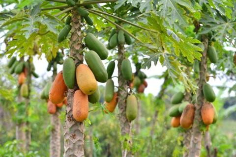 Papaya: Natürlicher Schwung für Magen und Darm